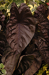 Puckered Up Elephant Ear (Colocasia esculenta 'Puckered Up') at Peck's Green Thumb Nursery