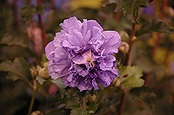 Blueberry Smoothie Rose of Sharon (Hibiscus syriacus 'DS01BS') at Peck's Green Thumb Nursery