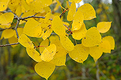 Trembling Aspen (Populus tremuloides) at Peck's Green Thumb Nursery