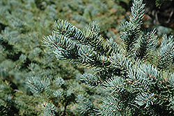 White Spruce (Picea glauca) at Peck's Green Thumb Nursery