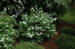 Tor Spirea (Spiraea betulifolia 'Tor') at Peck's Green Thumb Nursery