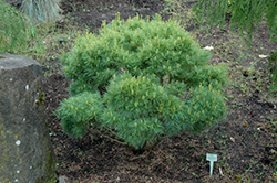 Verkade's Broom Eastern WhitePine (Pinus strobus 'Verkade's Broom') at Peck's Green Thumb Nursery