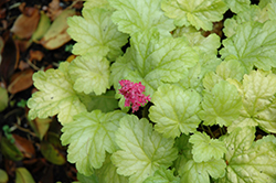 Havana Coral Bells (Heuchera 'Havana') at Peck's Green Thumb Nursery