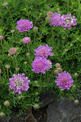 Vivid Violet Pincushion Flower (Scabiosa 'Vivid Violet') at Peck's Green Thumb Nursery