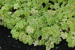 Yellowstone Falls Foamy Bells (Heucherella 'Yellowstone Falls') at Peck's Green Thumb Nursery