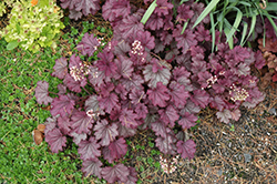 Sugar Berry Coral Bells (Heuchera 'Sugar Berry') at Peck's Green Thumb Nursery