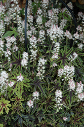 Cascade Creeper Foamflower (Tiarella 'Cascade Creeper') at Peck's Green Thumb Nursery