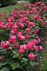 Double Knock Out® Rose (Rosa 'Radtko') at Peck's Green Thumb Nursery
