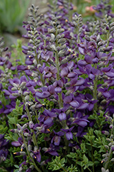 Decadence® Blueberry Sundae False Indigo (Baptisia 'Blueberry Sundae') at Peck's Green Thumb Nursery