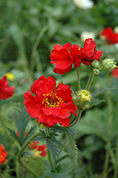 Mrs. Bradshaw Avens (Geum 'Mrs. Bradshaw') at Peck's Green Thumb Nursery