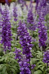 Cathedral™ Deep Blue Salvia (Salvia farinacea 'Cathedral Deep Blue') at Peck's Green Thumb Nursery