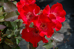 Screaming Neon Red™ Rose (Rosa 'BAIneon') at Peck's Green Thumb Nursery