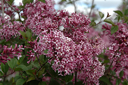 Bloomerang® Purple Lilac (Syringa 'Penda') at Peck's Green Thumb Nursery