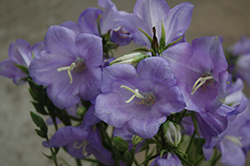 Takion Blue Peachleaf Bellflower (Campanula persicifolia 'Takion Blue') at Peck's Green Thumb Nursery
