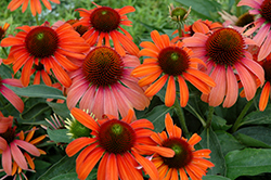 Julia Coneflower (Echinacea 'Julia') at Peck's Green Thumb Nursery