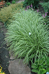 Ice Dance Sedge (Carex morrowii 'Ice Dance') at Peck's Green Thumb Nursery