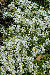 Snow Princess Alyssum (Lobularia 'Snow Princess') at Peck's Green Thumb Nursery