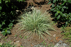 EverColor® Everest Japanese Sedge (Carex oshimensis 'Carfit01') at Peck's Green Thumb Nursery