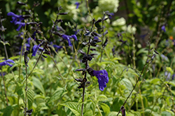 Black And Blue Anise Sage (Salvia guaranitica 'Black And Blue') at Peck's Green Thumb Nursery
