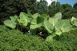 Giant Elephant Ear (Colocasia gigantea) at Peck's Green Thumb Nursery