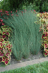Blue Arrows Rush (Juncus inflexus 'Blue Arrows') at Peck's Green Thumb Nursery