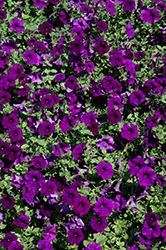 Easy Wave® Blue Petunia (Petunia 'Easy Wave Blue') at Peck's Green Thumb Nursery