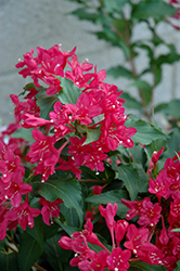 Sonic Bloom Red® Reblooming Weigela (Weigela florida 'Verweig 6') at Peck's Green Thumb Nursery