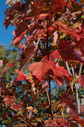 Red Rocket Red Maple (Acer rubrum 'Red Rocket') at Peck's Green Thumb Nursery