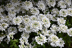 Snowflake Candytuft (Iberis sempervirens 'Snowflake') at Peck's Green Thumb Nursery