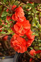 Double Take Orange™ Flowering Quince (Chaenomeles speciosa 'Double Take Orange Storm') at Peck's Green Thumb Nursery