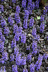 Black Scallop Bugleweed (Ajuga reptans 'Black Scallop') at Peck's Green Thumb Nursery