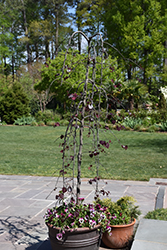Ruby Falls Redbud (Cercis canadensis 'Ruby Falls') at Peck's Green Thumb Nursery