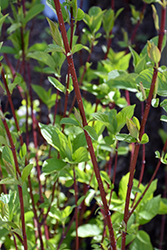 Bailey Red-Twig Dogwood (Cornus baileyi) at Peck's Green Thumb Nursery