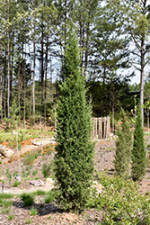 Taylor Redcedar (Juniperus virginiana 'Taylor') at Peck's Green Thumb Nursery