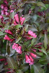 Shining Sensation™ Weigela (Weigela florida 'Bokrashine') at Peck's Green Thumb Nursery