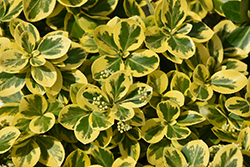 Gold Splash® Wintercreeper (Euonymus fortunei 'Roemertwo') at Peck's Green Thumb Nursery