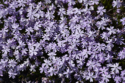 Emerald Blue Moss Phlox (Phlox subulata 'Emerald Blue') at Peck's Green Thumb Nursery