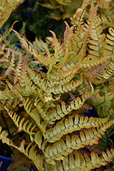 Brilliance Autumn Fern (Dryopteris erythrosora 'Brilliance') at Peck's Green Thumb Nursery