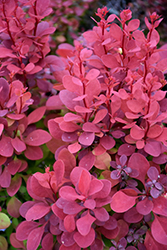 Orange Rocket Japanese Barberry (Berberis thunbergii 'Orange Rocket') at Peck's Green Thumb Nursery