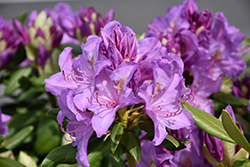 Boursault Rhododendron (Rhododendron catawbiense 'Boursault') at Peck's Green Thumb Nursery