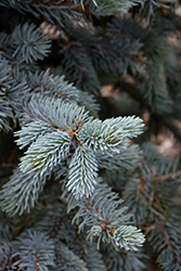 Hoopsii Blue Spruce (Picea pungens 'Hoopsii') at Peck's Green Thumb Nursery