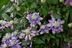 Diamantina Clematis (Clematis 'Diamantina') at Peck's Green Thumb Nursery