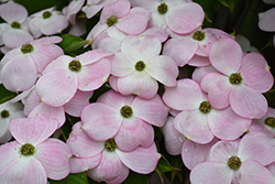Stellar Pink Flowering Dogwood (Cornus 'Stellar Pink') at Peck's Green Thumb Nursery