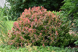 Admiration Japanese Barberry (Berberis thunbergii 'Admiration') at Peck's Green Thumb Nursery