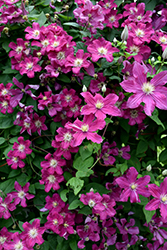 Barbara Harrington Clematis (Clematis 'Barbara Harrington') at Peck's Green Thumb Nursery