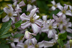 Miss Bateman Clematis (Clematis 'Miss Bateman') at Peck's Green Thumb Nursery
