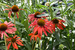 Tomato Soup Coneflower (Echinacea 'Tomato Soup') at Peck's Green Thumb Nursery