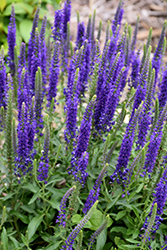 Hocus Pocus Speedwell (Veronica 'Hocus Pocus') at Peck's Green Thumb Nursery