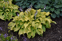 Sun Power Hosta (Hosta 'Sun Power') at Peck's Green Thumb Nursery