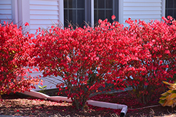 Chicago Fire Burning Bush (Euonymus alatus 'Chicago Fire') at Peck's Green Thumb Nursery